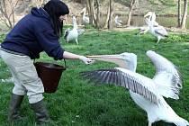Chovatelka Nikola Dušková při krmení pelikánů v Zoo Praha.
