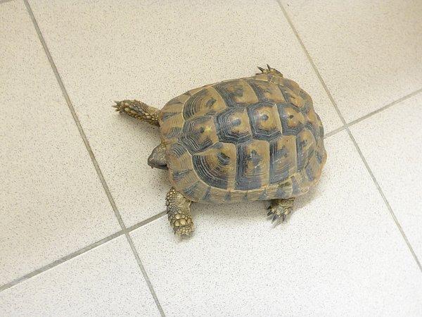 Želva odchycená vpřístavu putovala do útulku.