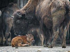 V pátek 5. května se narodilo mládě bizona.