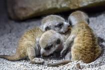 Nová mláďata surikat v pražské zoo mohou návštěvníci vidět nezvykle brzy
