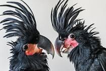 Dvě odchovaná mláďata kakadu palmového jsou pro pražskou zoo velkým úspěchem.