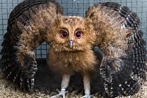 Výreček filipínský je velmi vzácným filipínským endemitem, to znamená, že ve volné přírodě nežije nikde jinde na světě.