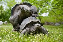 Velké želvy se radují z návratu do venkovního výběhu po svém.