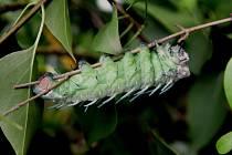 Motýl s největším rozpětím křídel Attacus atlas bude opět k vidění ve skleníku Fata Morgana