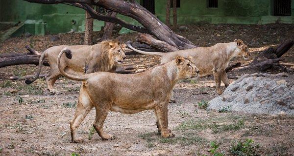 Tříčlenná smečka lvů indických - Jamvan, Gigi a Jennifer - by měla být do České republiky transportována letos včervenci.