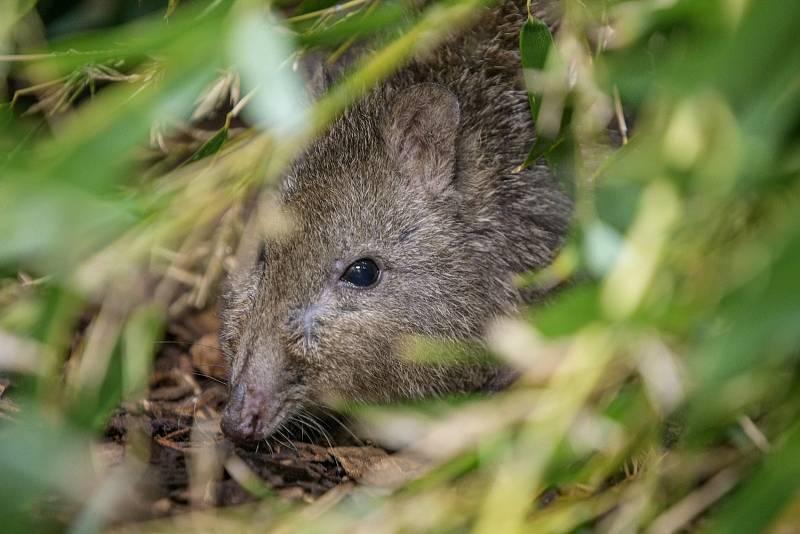 Oblíbeným prostředím klokánka krysího, menšího příbuzného klokanů, jsou houštiny. Jeho potravu tvoří z velké části houby.