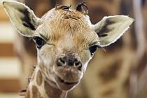 Novorozené žirafí mládě