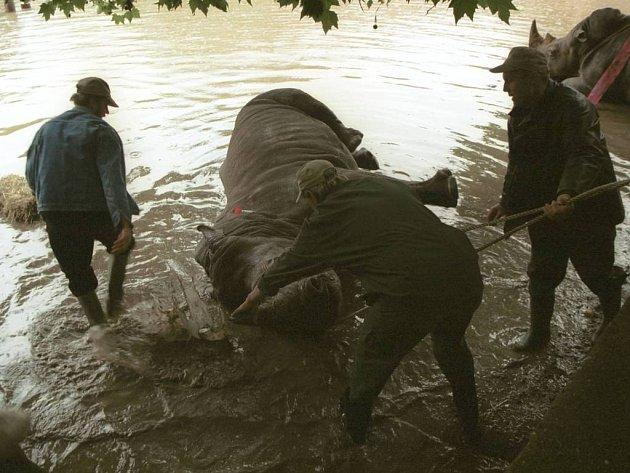 Evakuace nosorožců během povodní v r. 2002.