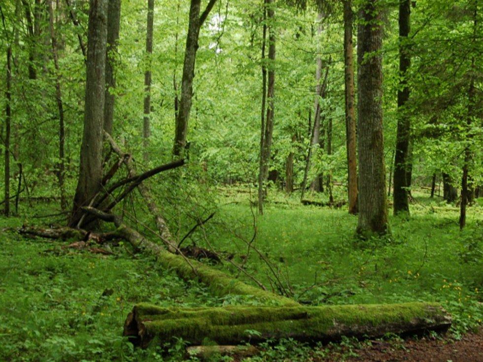 Bělověžský prales. Ilustrační foto.