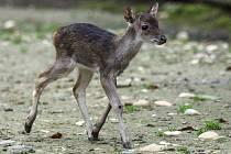 Sameček sambara ostrovního se narodil 13. listopadu 2014 v pražské zoo.
