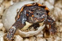 Mládě želvy Spenglerovy při líhnutí z vajíčka v pražské zoologické zahradě.