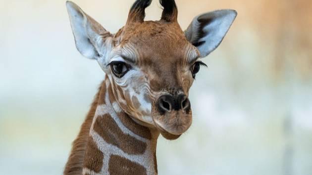 Matkou žirafího samečka je pražská rodačka Eliška, otce Johana má malý žirafák společného s Nelou narozenou 25. ledna.