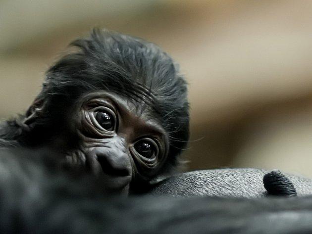 Gorilí mládě prospívá