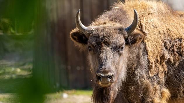 Pražská zubří samice Prixi odjíždí na Kavkaz.