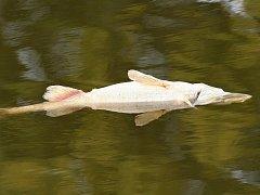 Uhynulá ryba. Ilustrační foto.