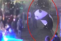 Tunisan v centru Prahy oblékl bezdomovce do kostýmu obří pandy. Oba tak porušili vyhlášku o buskingu.