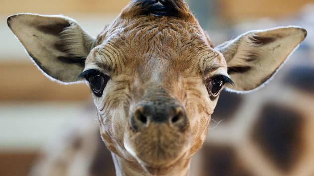 Křty žirafího mláděte 10. března 2011.