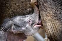 Slůně v pražské zoologické zahradě je stále při chuti.