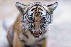 Letošní Světový den divoké přírody bude zaměřený na velké kočkovité šelmy. Zoo Praha naposledy úspěšně rozmnožila kriticky ohrožené tygry malajské.