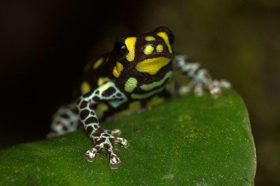 Žáby rodu Ranitomeya zase patří mezi nejmenší druhy žab na světě. Na výstavě Šípové žáby jich je v Zoo Praha k vidění hned několik.