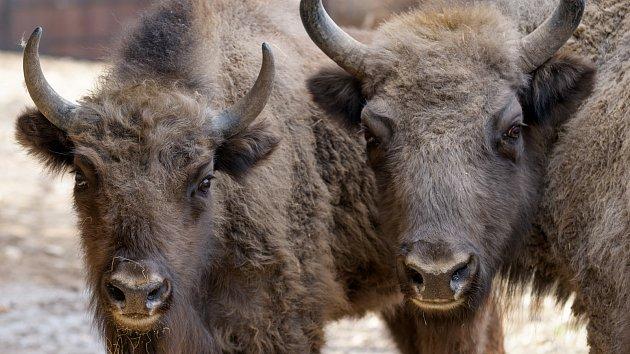 Zoo Praha se podílí na návratu zubrů na Kavkaz.
