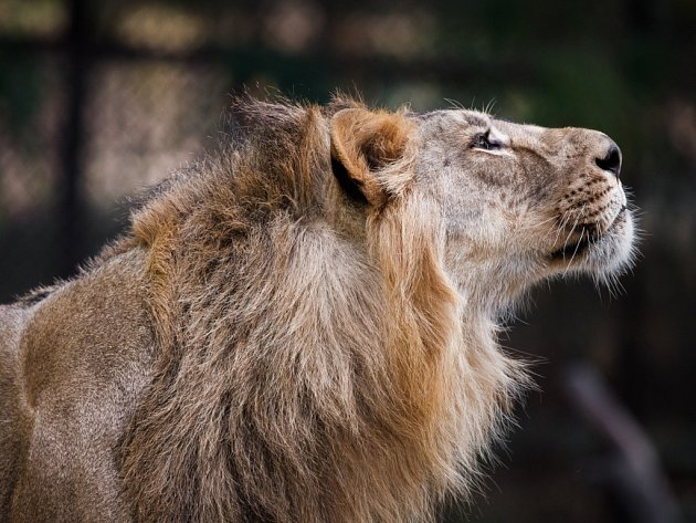 Samec lva indického, který bude přivezen do pražské zoo spolu se dvěma samicemi, se jmenuje Jamvan.