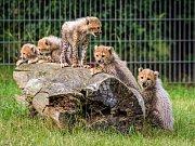 Sobota bude patřit v Zoo Praha gepardím paterčatům, která budou mít křtiny, a návštěvníci je budou moci prvně spatřit.