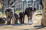 Sloni dostali novou hračku – kouli naplněnou granulemi.
