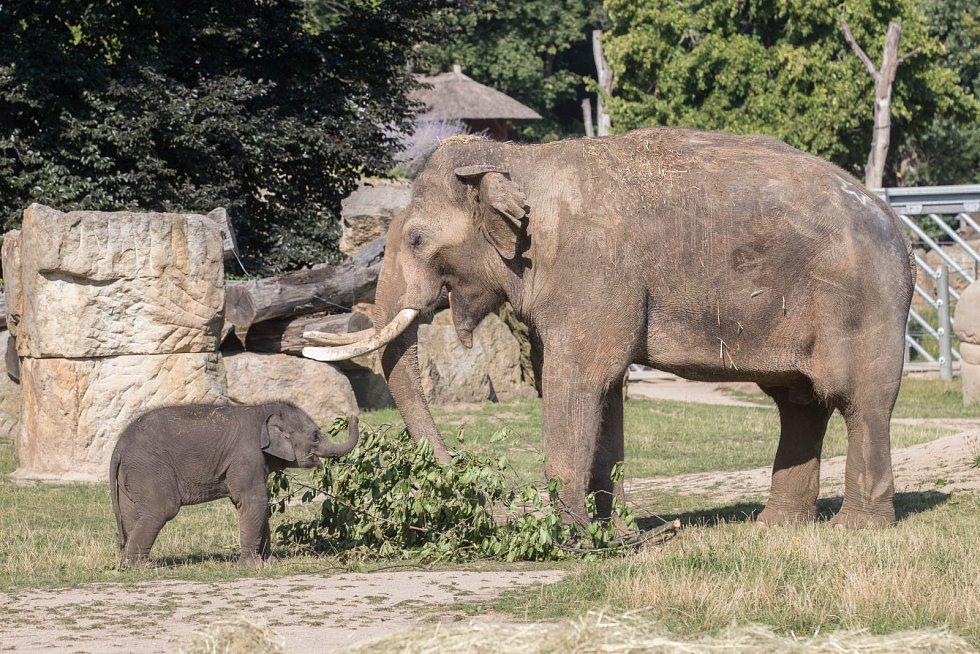 """Malé slonice průběžně chodily za samcem Ankhorem a očichávaly ho. Na snímku starší z obou slůňat – Lakuna, jejíž jméno má v sinhálštině význam """"Znamení""""."""
