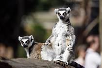 Cvičení s lemury kata v pražské ZOO.