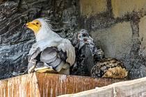 Pohled na mláďata s jedním z dospělých supů ještě v pražském hnízdě. Mládě, které se vylíhlo 1. června v Zoo Zlín, bylo krátce na to převezeno do Prahy a podsazeno pod pěstounský pár, který zároveň odchoval i vlastní mládě vylíhnuté 9. června.