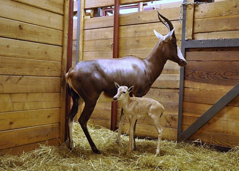 Samice buvolce běločelého Rozmarýna je zkušená matka, odchovala už dvě samičky a dva samce. Její páté mládě, narozené letos v lednu, je sameček.