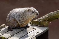 V pražské zoologické zahradě se po zimním spánku, který trval zhruba pět měsíců, probudil svišť lesní.