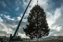 Vánoční smrk z Rynoltic na Liberecku už stojí na Staroměstském náměstí v Praze. Osmitunový strom převezl tahač.