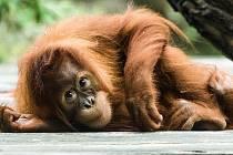 Orangutan patří knejohroženějším živočichům světa.