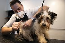 Martin Kuruc 3. května 2021 upravuje psovi srst ve svém pražském salonu Dirty Dog, který mohl otevřít po rozvolnění protiepidemických opatření.