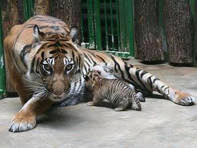 Madla, samice tygra sumaterského, porodila 27. května dvě tygřata. Provoz pavilonu šelem je z těchto důvodů upraven podle nálady tygří mámy.