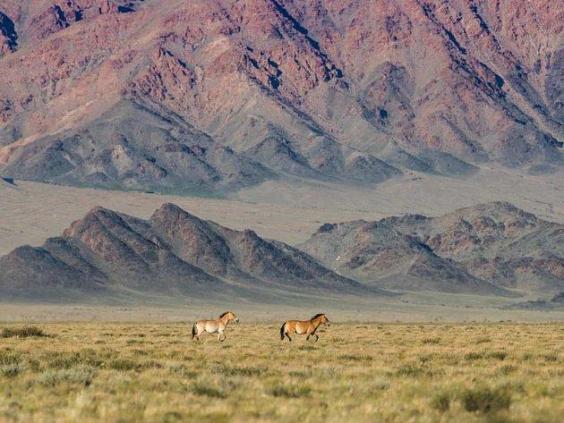 Koně Převalského vzápadním Mongolsku.