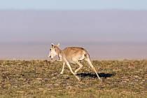 Sajgy mongolské vypadají jako zvířata z jiných časů. I díky samici s telemetrickým obojkem, které financovala Zoo Praha, se o životě kriticky ohroženého druhu dozví vědci více.