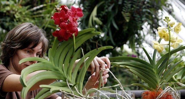 Ve skleníku Fata Morgana pražské botanické zahrady začala v sobotu 14. února výstava orchidejí.