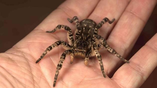 Praha jako první na světě vystavila největšího pavouka Evropy - slíďáka tatarského.