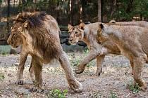 Zoo Sakkarbaug v indickém Gudžarátu a tamější lvi indičtí, kteří mají být letos v létě převezeni do pražské zoo.