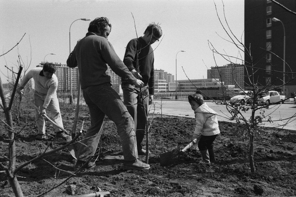 Na brigádě. Sídliště v Kobylisích patří dlouhodobě ke kvalitnějším obytným celkům zasazeným do zeleně. V roce 1975 brigádníci vysazovali v okolí domů mladé stromky.