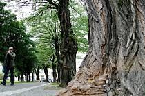 Akátové stromořadí. Ilustrační foto.