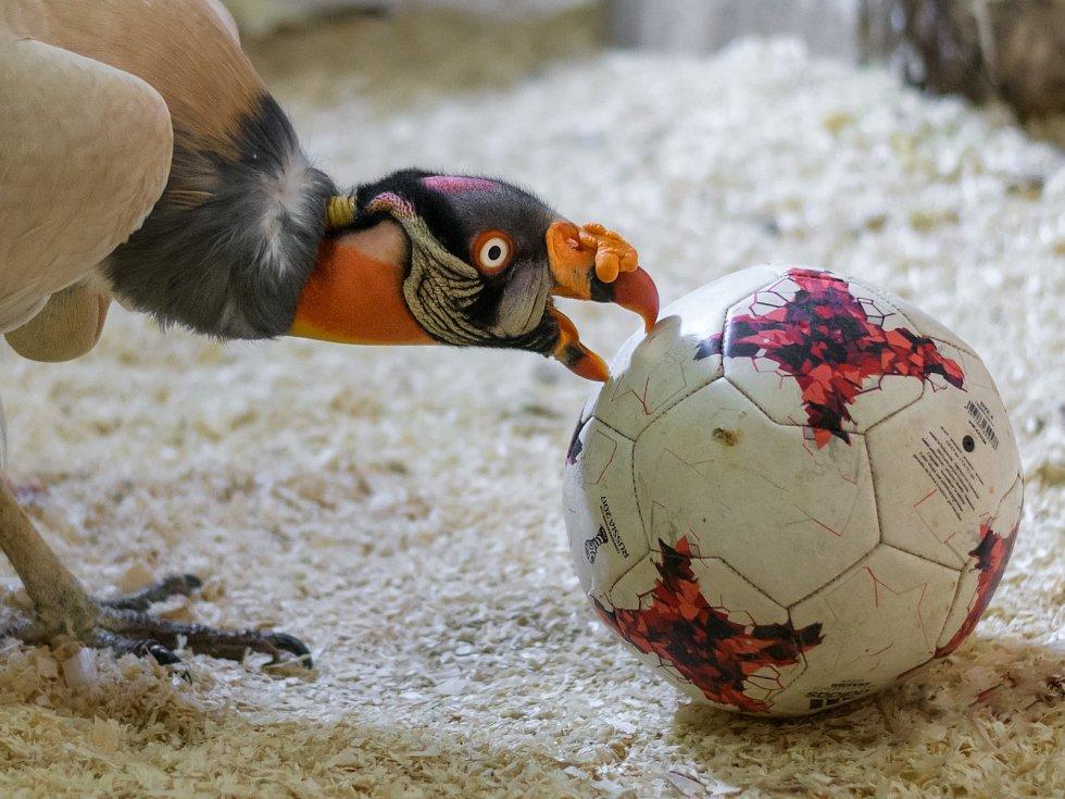 Také pro kondora královského může být obyčejný míč skvělou pomůckou pro vybití energie.
