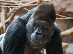Ve středu 9. listopadu oslaví gorilí samec Richard své 25. narozeniny.