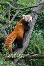 Samice Wilma utvoří pár pand červených se samcem Patem.