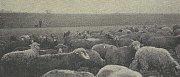 PASTVA. Ještě v 50. letech bylo běžné potkat na záběhlických loukách stáda ovcí. Chovem těchto biblických zvířátek se zabýval nejeden obyvatel Záběhlic.