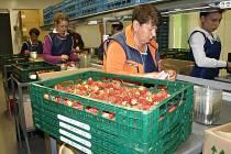V Břežanech II pracovníci přímo jahody balí a posílají k prodeji nejčastěji do řetězců. Díky stáleplodící odrůdě lze koupit jejich jahody i v říjnu.