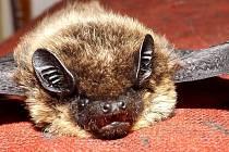 Ochránci v Praze objevili vzácného netopýra Saviova.
